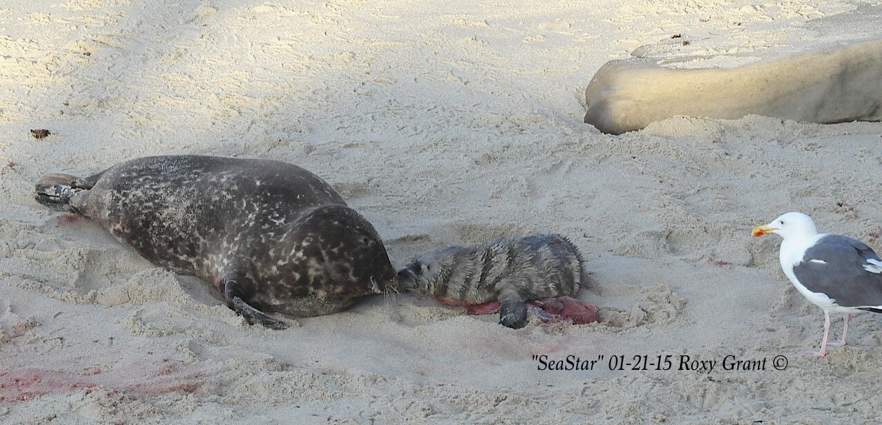 Mother Seal and Seastar