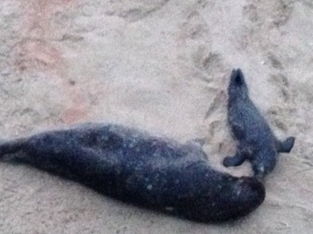 Mother Seal and her Pup, Sunshine