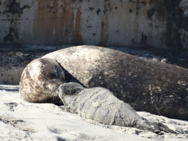 Mother and Swift Born, Sharing a Seal Kiss